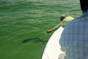 Capt. Rick leaders a tarpon caught and released on a fly by Hal Lutz, from Parrish, FL, while fishing the coastal gulf.