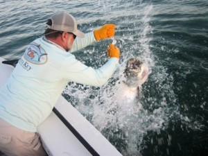 May should be a good month for tarpon in Sarasota. Capt. Rick handles one at boatside in a previous May.