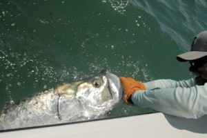 Capt. Rick handles a tarpon caught by Sean Sherman, from NYC, while fishing the coastal gulf in a previous May.