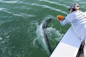 Capt. Rick Grassett leaders a tarpon caught and released by a client in the coastal gulf in a previous June.